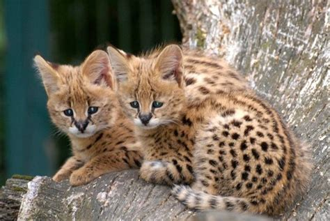 What are serval kittens? - Quora