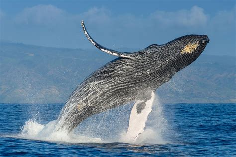 The Plan to Save the Humpback Whales—and How It Succeeded