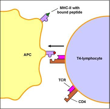 BIOL 230 Lecture Guide - T4-Lymphocyte Recognition of MHC