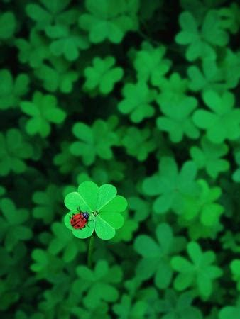 Ladybug on Four Leaf Clover Photographic Print by Bruce