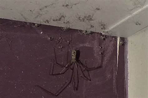 Yorkshire woman finds HUGE spider in bedroom and its army