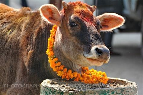 Why is a cow so important in Nepal? - Quora