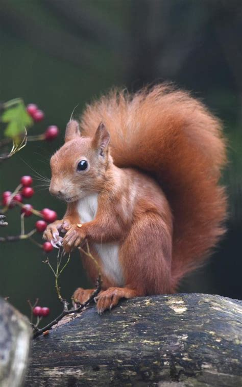 Come on you reds! How the British red squirrel is fighting