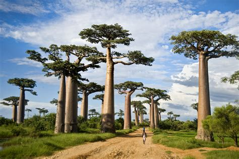 Why Are Some of Africa's Biggest Baobab Trees Dying Off