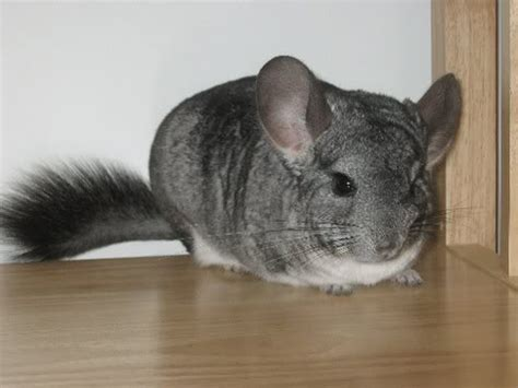 An Introduction to Exotic Pets: Small Mammals